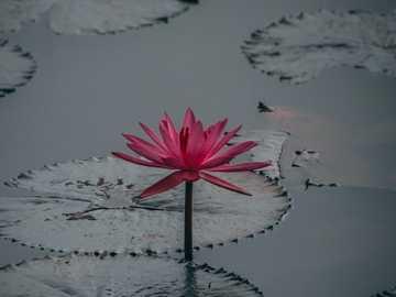 lilia wodna - lilia wodna, nenufar kwitnący