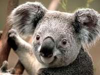 κοάλα στο δέντρο - είναι γκρίζος έχει μαύρη μύτη