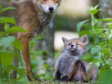 renards - maman et bébé dans les bois - renards - maman et bébé dans les bois