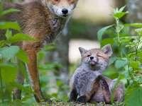 vossen - moeder en baby in het bos