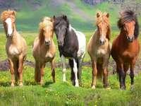 Chevaux sauvages en Islande
