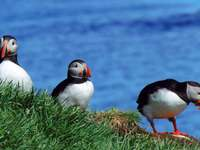 Puffins on Iceland's coast - Puffins on Iceland's coast