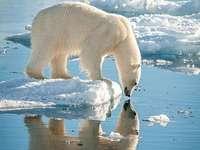 Eisbären auf Grönland - Eisbären auf Grönland