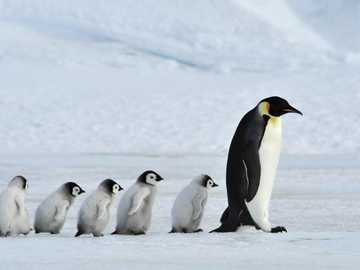 Penguin family in Greenland - Penguin family in Greenland