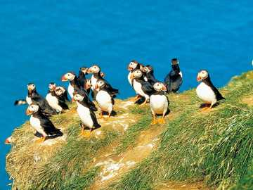 Puffins on the coast of Greenland - Puffins on the coast of Greenland