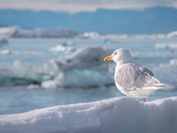 Seagull sur la côte du Groenland - Seagull sur la côte du Groenland