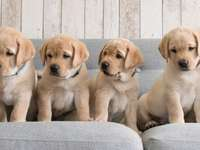 heldere honden