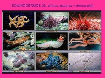 Échinodermes - résoudre le casse-tête d'échinoderme suivant
