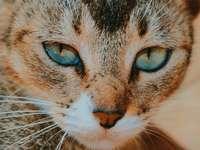 macrofotografie van kortharige bruine kat