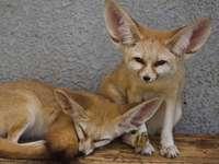 Desert Fennec Fox - gerelateerde honden - echt