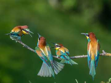 bunte Vögel - Bienenfresser - m .........................