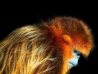 gouden stompneus aap