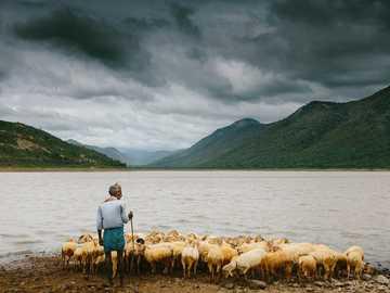 Der Hirte - Mann hält Stock und steht in der Nähe von Schafherde an der Küste. Gundal Dam, Indien