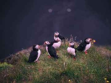 white-and-black birds near body of water - A group of puffins resting on the cliffs before the night. Dyrhólaey Lighthouse, Iceland