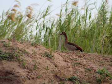 braune und weiße Ente auf braunem Boden - Eine ägyptische Gans am Ufer des Sambesi. Sambesi Fluss