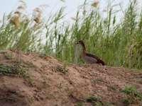 bruine en witte eend op bruine grond - Een nijlgans aan de oevers van de Zambezi-rivier. Zambezi-rivier