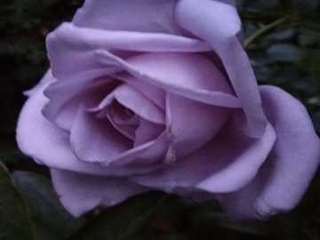 Rose triste - Une rose très triste.