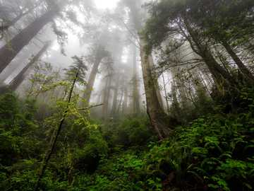 "green plants and trees during foggy day - ""The Mist""  Del Norte Redwoods in California. Del Norte County, CA, USA"