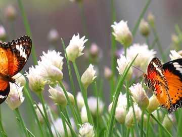 Schmetterlinge auf weißen Blüten - m ..............................