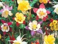кандилка - смес от цветове