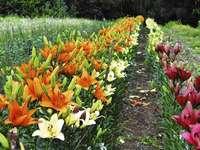 ogród pełen lilii