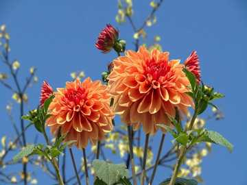 Herbstprinzessinnen - Dahlien - Herbstprinzessinnen
