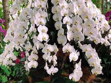 White orchid - white orchid in nature ..............