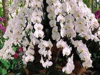 Λευκή ορχιδέα - λευκή ορχιδέα στη φύση ..............