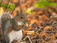 Esquilo nas folhas de outono