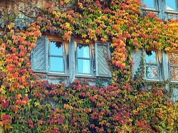 Vine leaves on the house in autumn colors - Vine leaves on the house in autumn colors