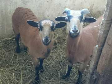 Ferdynand und Fela - Kameruner Schafe von meiner Farm