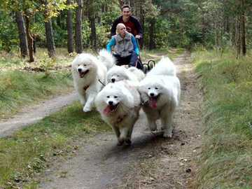 dogs in harness - m .........................