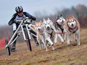 sled dogs - m .....................