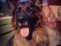 chien allemand