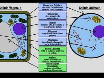 Células vegetales y animales - Estudie las diferencias entre células animales y vegetales.