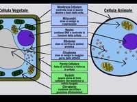 Pflanzen- und Tierzellen - Untersuchen Sie die Unterschiede zwischen tierischen und pflanzlichen Zellen.