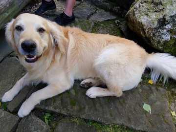 duży biały pies - duży biały pies łagodny