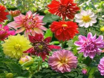 Dalie Kolorowe - Dalie Kolorowe W Ogrodzie