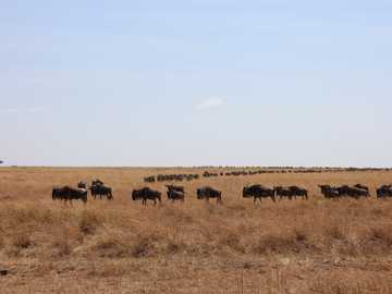 Maasai Mara National Reserve - herd of sheep on brown grass field during daytime. Maasai Mara National Reserve, Ngiro-are Road, Ken