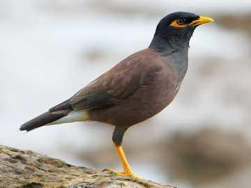 Mynah Bird Puzzle - Gå med i pusselbitarna och bilda bilden av Mynah