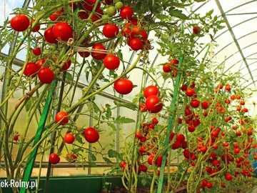 tomatoes in the greenhouse - m ...........................