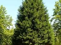 GYMNOSPERM PLANT