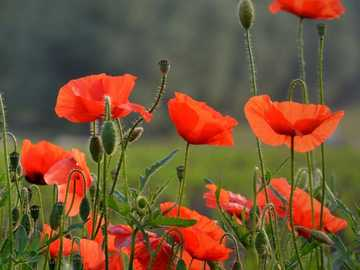 poppies in the meadow - m ...........................