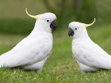 cockatoo parrot - m ........................
