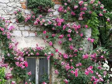 House front with rose tendrils - House front with rose tendrils