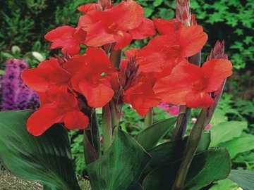 canna rouge - m ........................