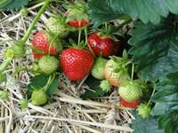 strawberries - strawberries ready for harvest