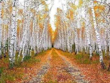 Birch forest. - Road in a birch forest.