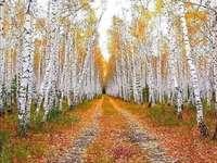 Floresta de vidoeiro. - Estrada em uma floresta de vidoeiros.