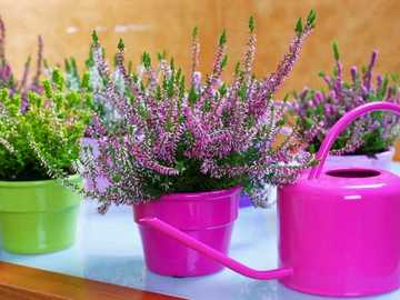Heathers In Pots - Heathers In Colorful Pots